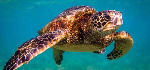 adult sea turtle swimming through the ocean