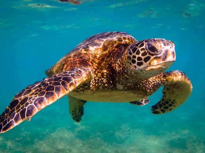 adult sea turtle swimming through the ocean