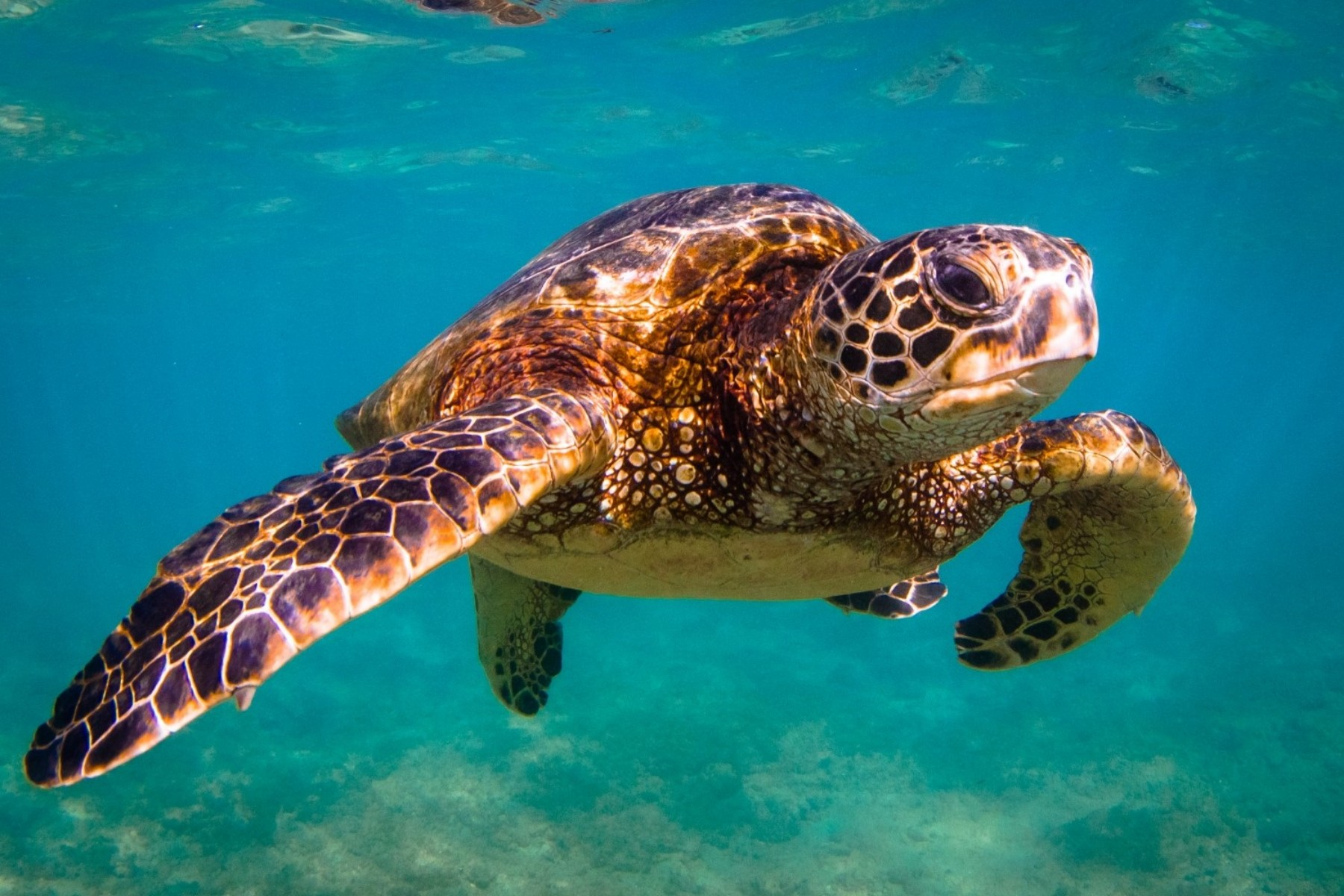 turtle sea turtles ocean save animals marine flippers reptiles hawaiian animal tropical help environment pacific water reptile foundation things beach