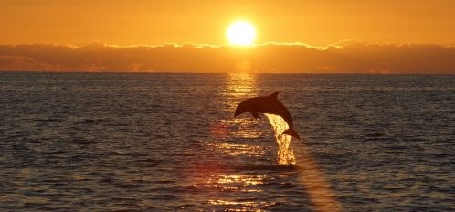 Dolphin jumping out of the ocean at sunset.